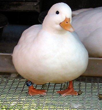 اردک صدازن